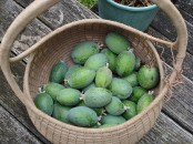 Feijoas in a basket